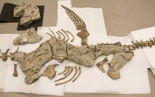 Plesiosaur skeleton fossil