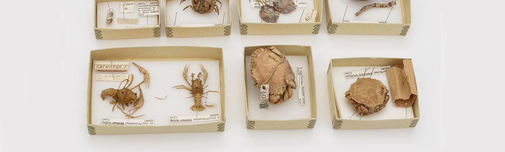 darwins crabs main banner