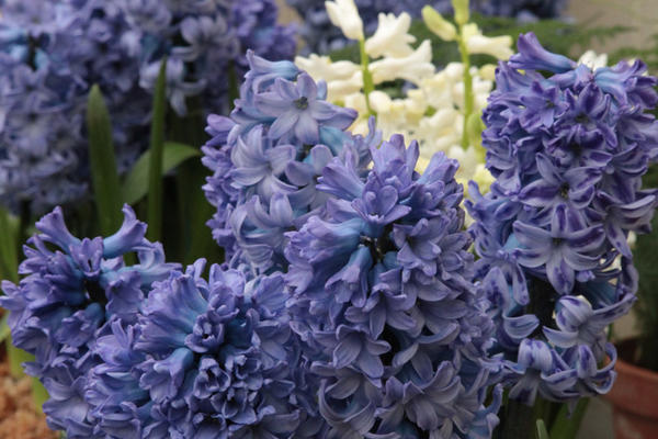 Hyacinth from the Botanic Garden
