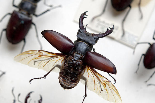 Stag Beetle, Oxford University Museum of Natural History