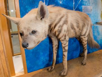 Striped Hyaena taxidermy
