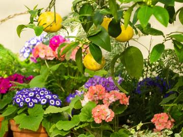 View of flowers and citrus fruits in the Conservatory at the Botanic Garden