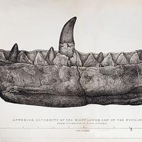 Anterior extremity of the right lower jaw of Megalosaurus drawn by Mary Buckland (1824)
